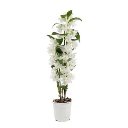 Дендробиум Ноб Стар класс white d12 h50 цена