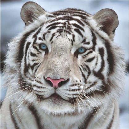 Фотообои бумажные Бенгальский тигр 139х139 cм цена