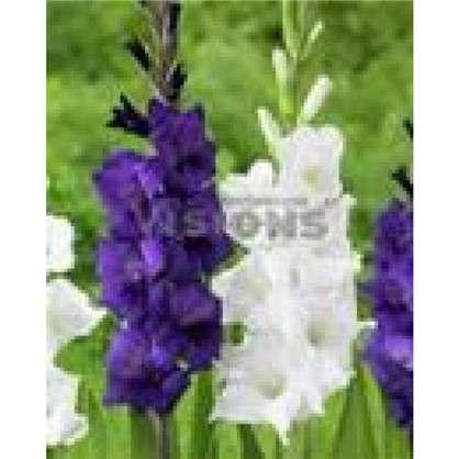 Гладиолус фиолетовый и белый микс цена