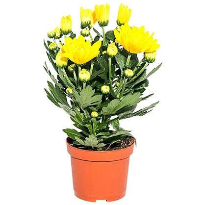 Хризантема микс 9х22см цена