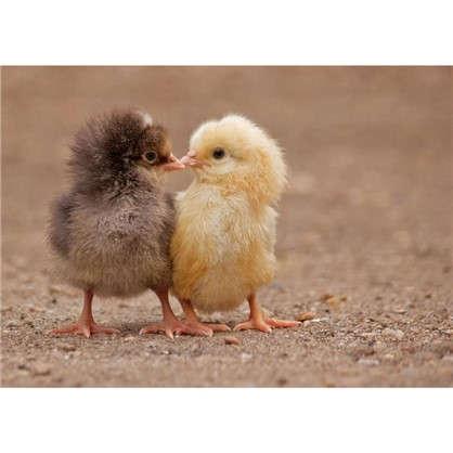 Картина на холсте 30х40 см Цыплята цена