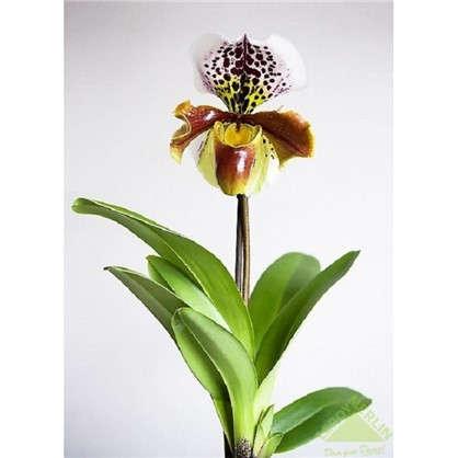 Орхидея Пафиопедилюм 12х20-50 см цена