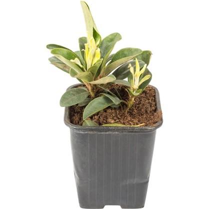 Рододендрон Гаага в коробке цена