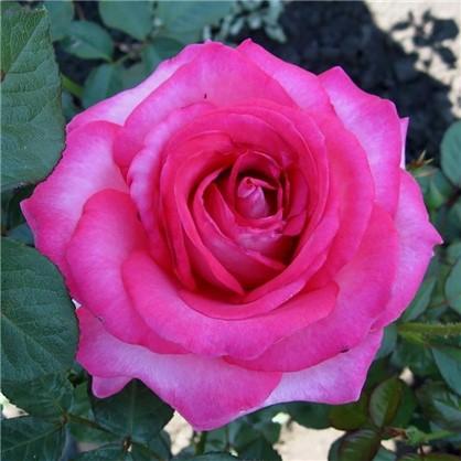 Роза чайно-гибридная Аква цвет розовый С2 цена