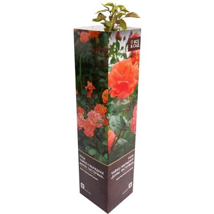 Роза чайно-гибридная Дорис Тистерман в тубе