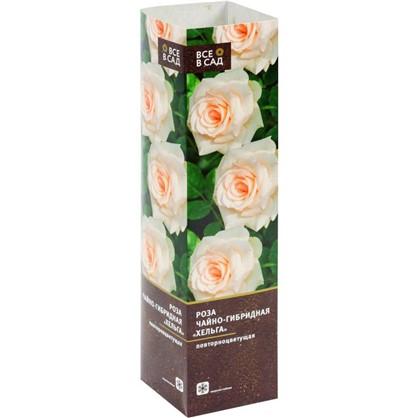 Роза чайно-гибридная Хельга в тубе