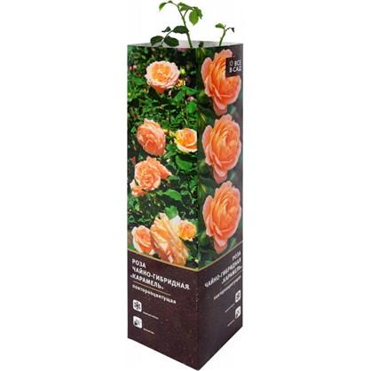 Роза чайно-гибридная Карамель в тубе цена