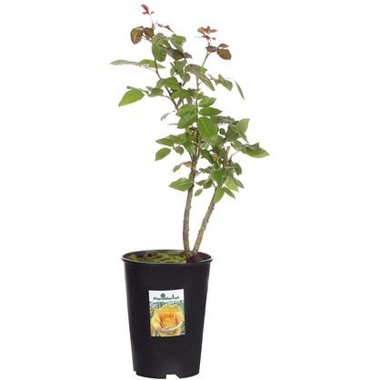 Роза чайно-гибридная Керио С2 цвет жёлтый цена