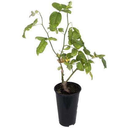 Роза двухлетка микс 2 л цена