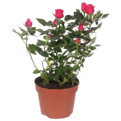 Роза Фаворит микс цена