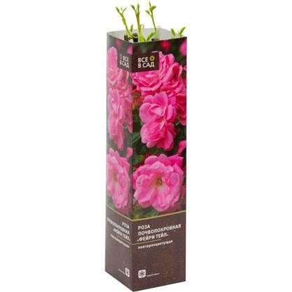 Роза почвопокровная Фейри Тейл в тубе