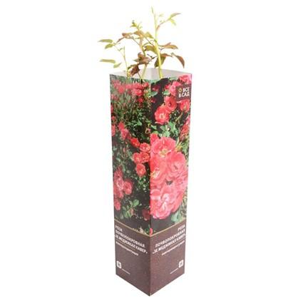 Роза почвопокровная Зе Меджикал Кавер в тубе цена