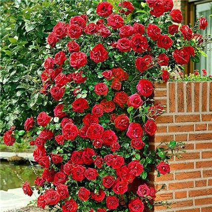 Розы плетистые Сантана