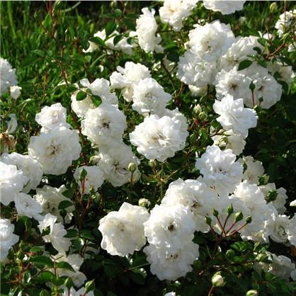 Розы почвопокровные Сиа Фом цена