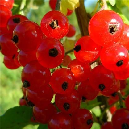 Смородина красная Ранняя сладкая С3-С4