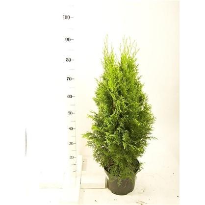 Туя occ smaragd D23 H100 цена
