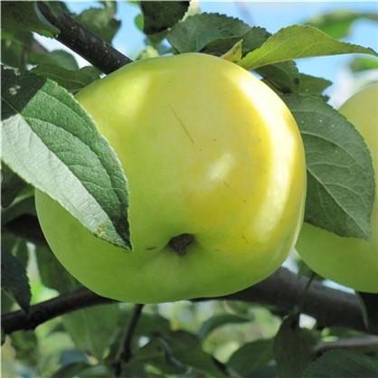 Яблоня Антоновка 1-2 года (пакет) цена