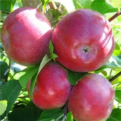 Яблоня Лобо 4 л цена