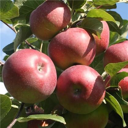 Яблоня Лобо пакет цена