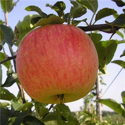 Яблоня  Мельба 1-2 года (пакет) цена